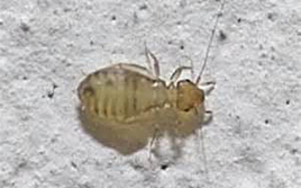 PsocopteraoCorrodentia: pidocchio della carta